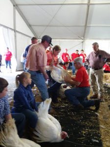 turkeys being judged